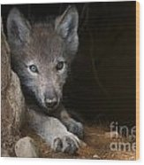 Timber Wolf Pictures 875 Wood Print