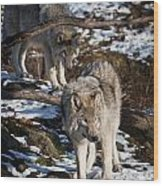 Timber Wolf Pictures 957 Wood Print by World Wildlife Photography