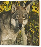 Timber Wolf Teton Valley Idaho Wood Print