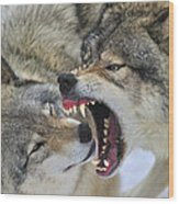 Timber Wolves Play Wood Print