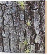 Tiny Baby Air Plants Wood Print