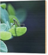 Tiny Praying Mantis On Sedum Wood Print
