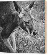 Tired Old Kangaroo Wood Print