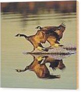 Tk0157, Thomas Kitchin Canada Geese Wood Print