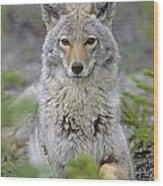 Tk0607, Thomas Kitchin Coyote In Spring Wood Print