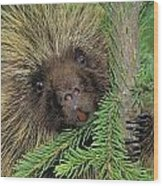 T.kitchin 14107c, Porcupine In Spruce Wood Print