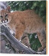 T.kitchin 15274d, Cougar Kitten Wood Print
