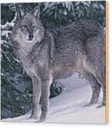 T.kitchin, 19821c Gray Wolf, Winter Wood Print