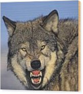 T.kitchin Wolf Snarling Wood Print by First Light