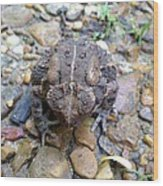 Toad Of Toad Hall Wood Print