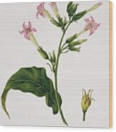 Tobacco Flowers Wood Print