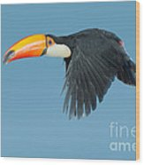 Toco Toucan In Flight Wood Print