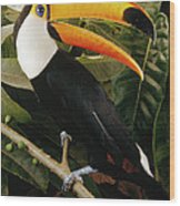 Toco Toucan Ramphastos Toco Calling Wood Print