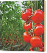 Tomato Greenhouse Wood Print