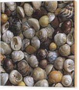 Topshells Whelk And Periwinkle Shells Wood Print