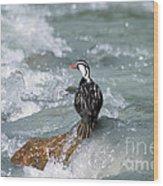 Male Torrent Duck Wood Print
