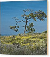 Torrey Pine On The Cliffs At Torrey Pines State Natural Reserve Wood Print