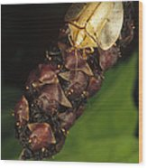 Tortoise Beetle Mother Shields Wood Print