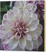 Touch Of Pink Dahlia Wood Print