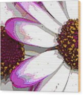 Touch Of Pink Osteospermum Trio B Wood Print