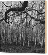 Towards The Silver Birches Wood Print