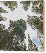 Towering Pine Trees Wood Print