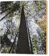 Towering Timber Wood Print
