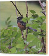 Towhee Keeps Watch On High Wood Print by Kym Backland