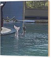Trainer And The Tails Of A Duo Of Dolphins At The Underwater World Wood Print