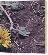 Trampled Sunflower Wood Print