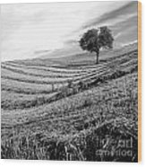 Tree In A Mowed Field. Auvergne. France Wood Print