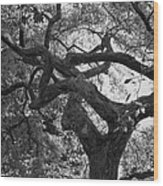 Tree In Prescott Park - Bw Wood Print