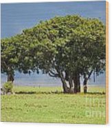 Tree On Savannah. Ngorongoro In Tanzania Wood Print