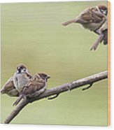 Tree Sparrows Wood Print