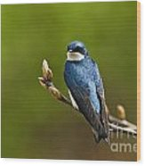 Tree Swallow Pictures 27 Wood Print