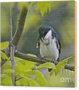 Tree Swallow Pictures 39 Wood Print