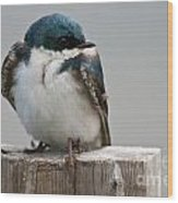Tree Swallow Pictures 47 Wood Print