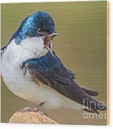 Tree Swallow Squawking Wood Print