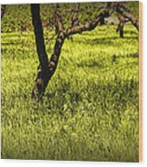 Tree Trunks In A Peach Orchard Wood Print