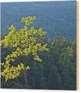 Tree With Yellow Leaves In Acadia National Park Wood Print
