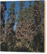 Trees Covered With Monarch Butterflies Wood Print