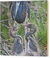 Tri-colored Heron With Chicks Wood Print
