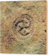 Tribrachidium Fossil Wood Print