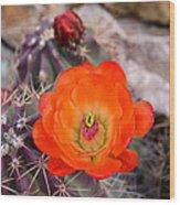 Trichocereus Cactus Flower  Wood Print