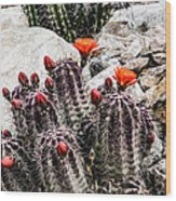 Trichocereus Cactus Flowers Wood Print
