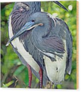 Tricolor Heron Adults In Breeding Wood Print