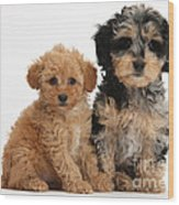 Tricolor Merle Daxie-doodle And Red Toy Wood Print