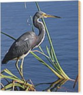 Tricolored Heron At The Pond Wood Print