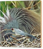 Tricolored Heron Incubating Eggs Wood Print
