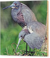 Tricolored Heron Male And Female At Nest Wood Print
